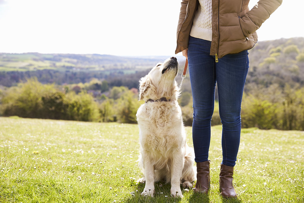 Close Up Of Golden Retriever On Walk In Countryside.jpg