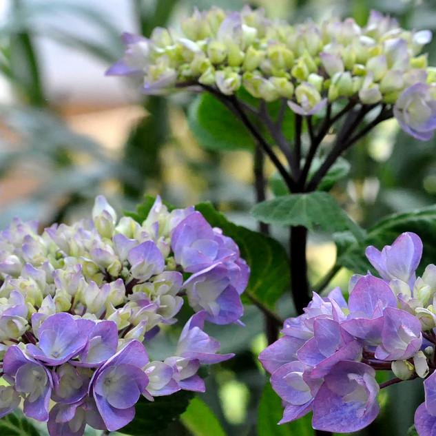 fleuriste-vie-de-fleur-Hortensia.