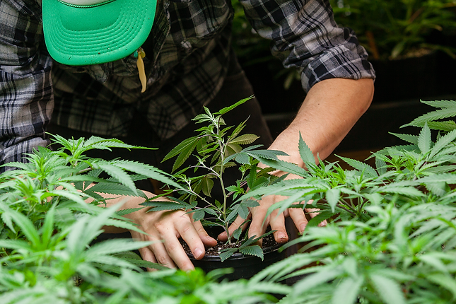 man planting cannabis