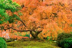 Maple Bush