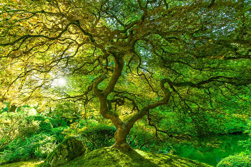 Portland - Green Maple