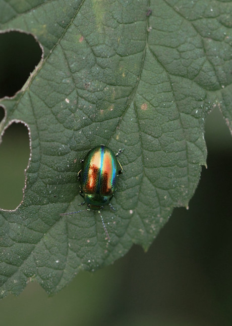 Multilayer thin structures on Chrysolina fastuosa produce a colorful iridescence.