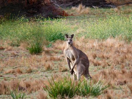 Great Walks In Berrima: No.4 Where To See Kangaroos