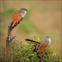 A pair of White-browed Coucal