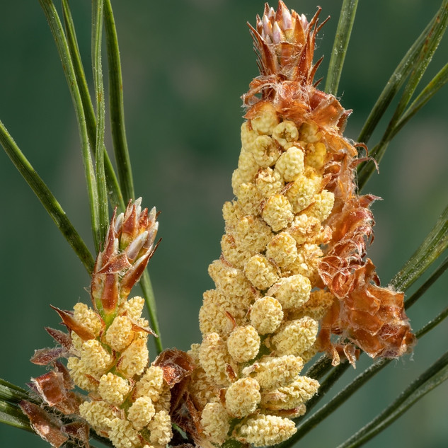 Scots Pine, Male Inflorescence