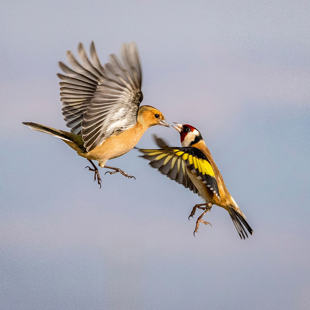 CHAFFINCH AND GOLDFINCH DISPUTE