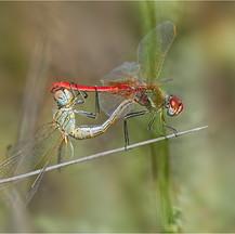 Sympetrum fonscolombii
