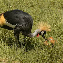 Black Crowned Crane with chicks