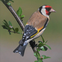 Goldfinch.-Carduelis Carduelis