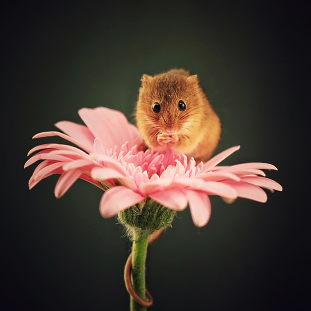 Harvest Mouse on Pink Gerbera