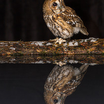 Tawny Owl and Reflection