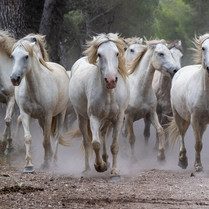 GALLOP AMONG THE PINES