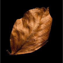Autumnal beech leaf