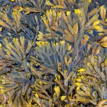 FUCOID SEAWEEDS