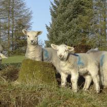 March - Lambs at Barnbeth