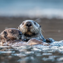 Mother and Cub Sea Otter