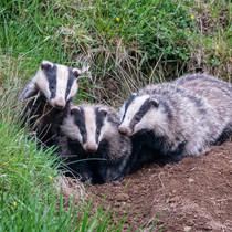 Trio of Badgers