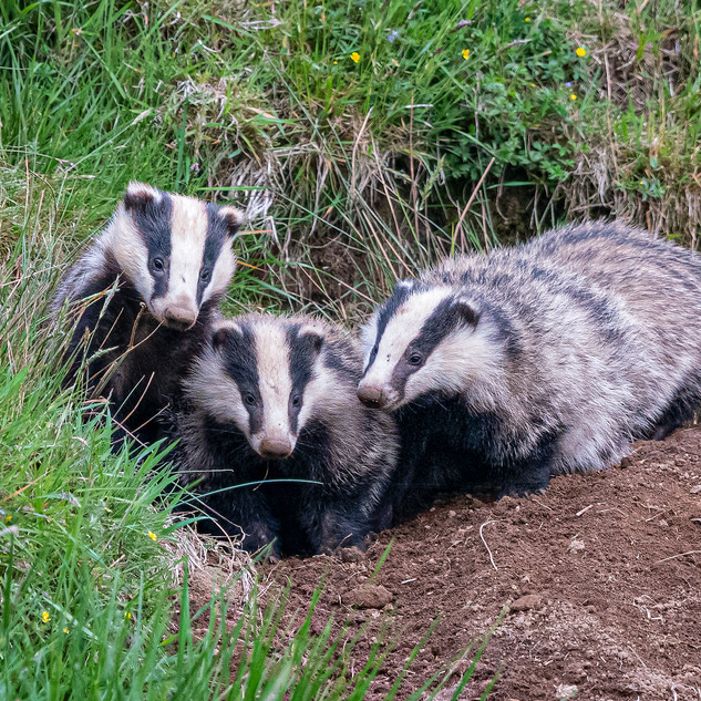 Trio of Badgers