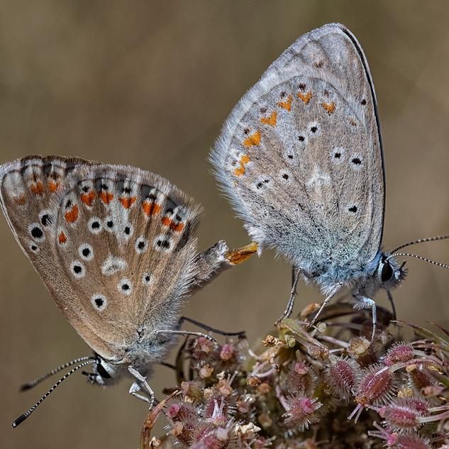 Chalkhill Blues Mating