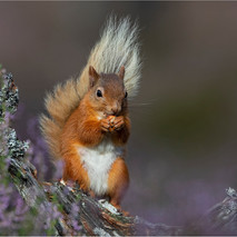 Red Squirrel in Heather 2
