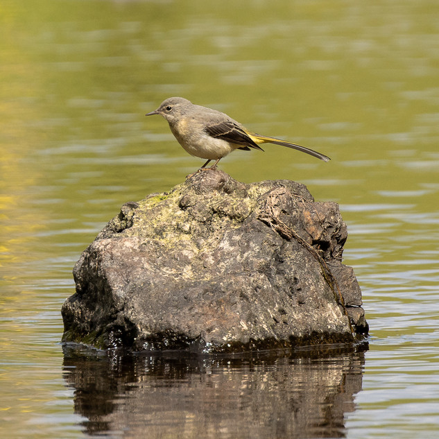 Grey wagtail on river rock