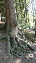 Wurzel Baum 02.jpg