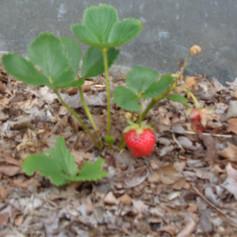 World's cutest berry!