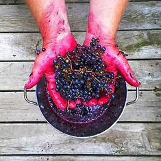 crushing+grapes+Ib++9-21-13.jpeg
