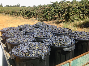 2017 hand selected Cabernet Sauvignon grapes