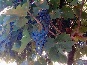 Cabernet Sauvignon grapes in 2017