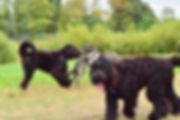 terrier noir russe avec chien de toute race