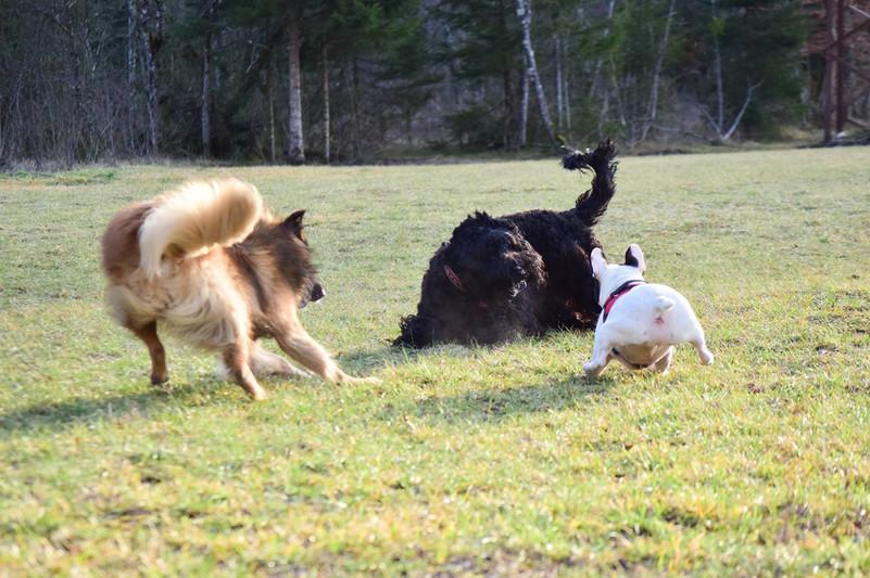 terrier noir de russie.jpg