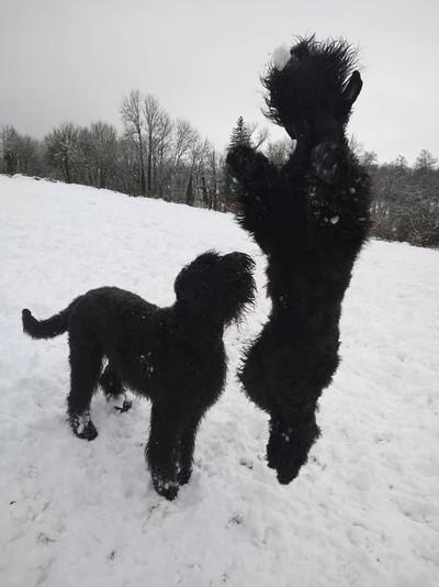 elevage terrier noir russe.jpg