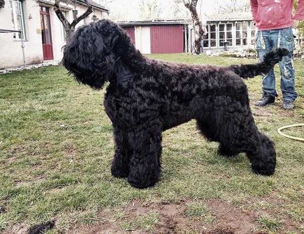 presentation terrier noir russe.jpg
