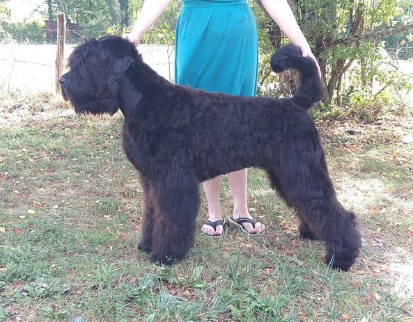 terrier noir russe.jpg
