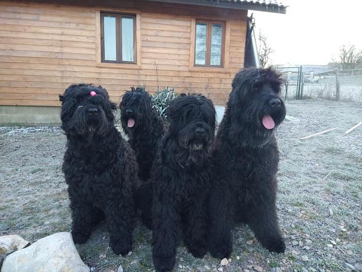 élevage terrier noir russe.jpg