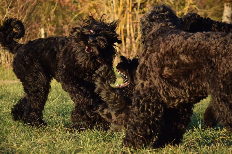 black russian terrier from france.jpg