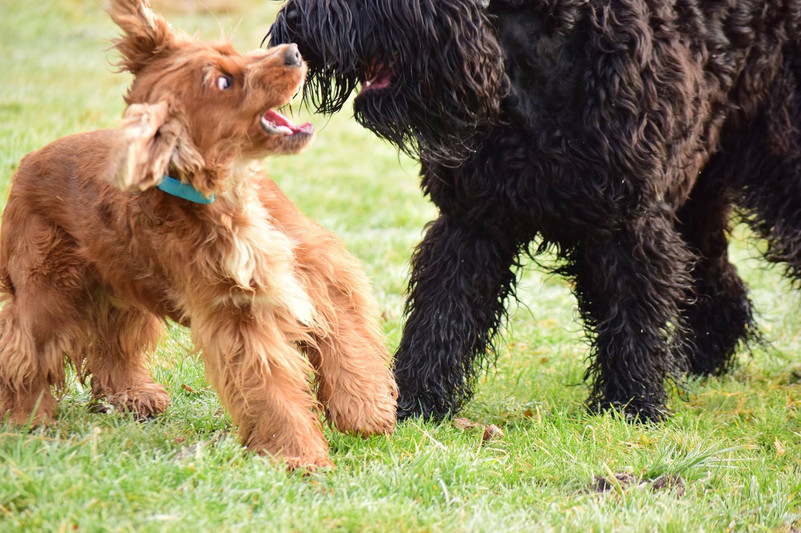 black russian terrier.jpg