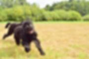 black russian terrier vacation nederland