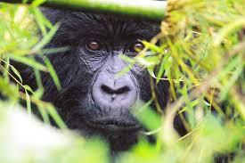 gorilla hiding
