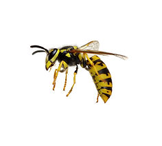 Porter Ranch Wasp & Hornet Removal