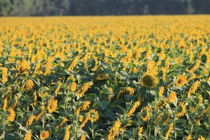 Sunflower-fields-1024x683.jpg