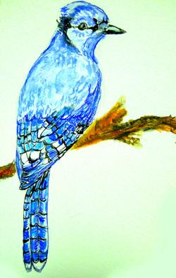 Birthday Bluejay for Daniel (Cyanocitta cristata)