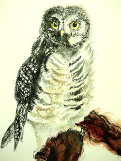 Ural Owlet for Arlo  (Strix uralensis)