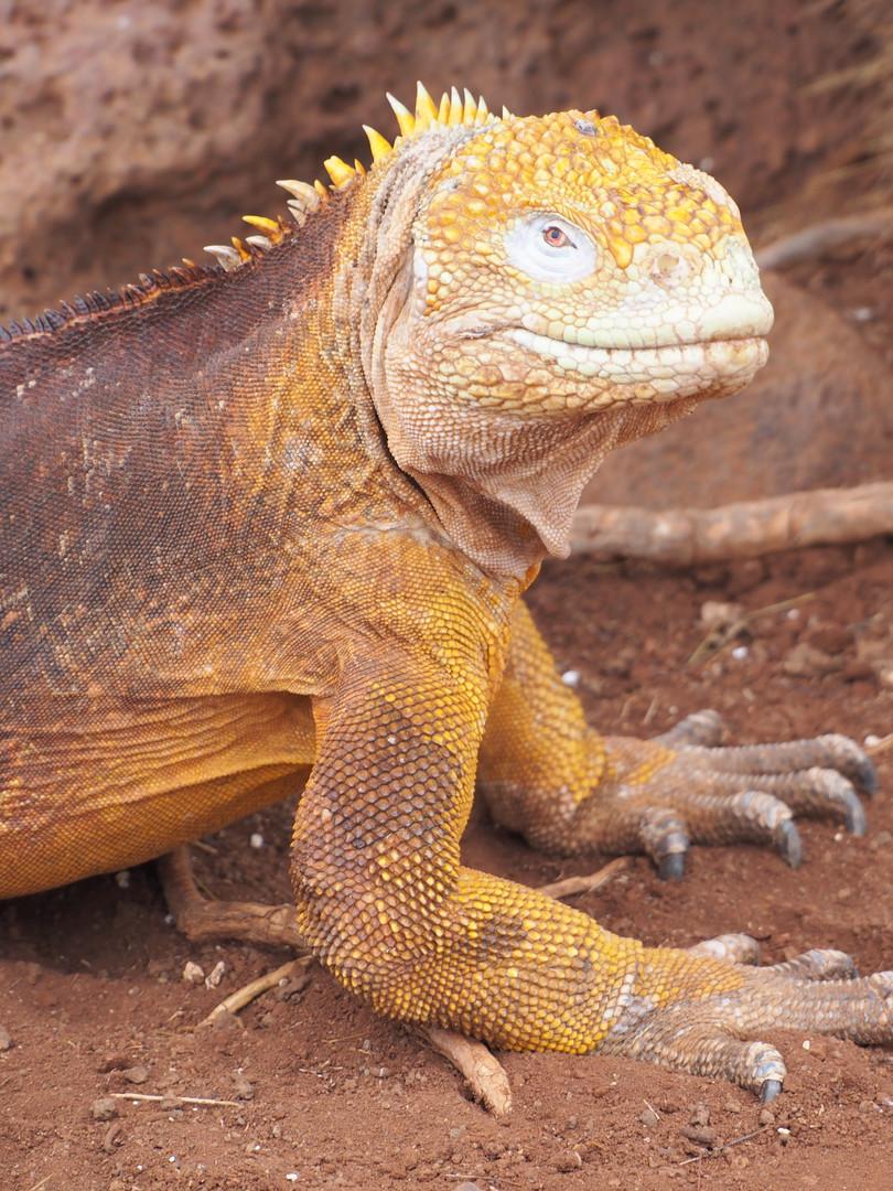Iguana Seymour Island.JPG