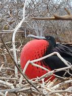 Frigate Bird.jpg