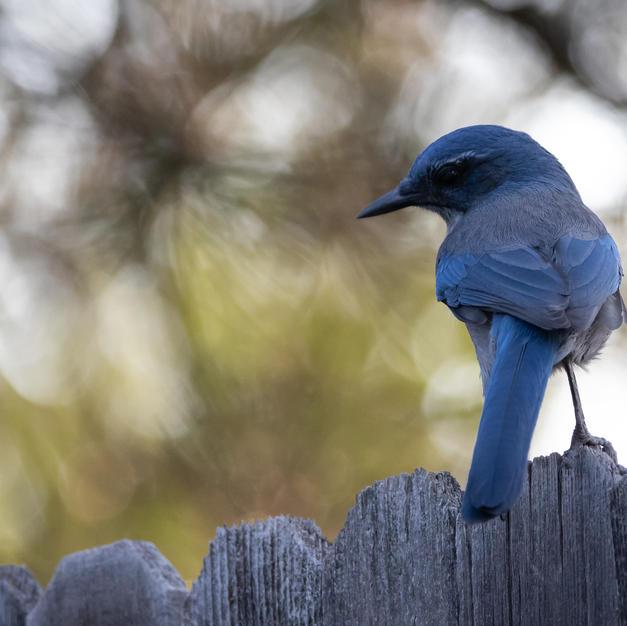 blue bird (3 of 1).jpg