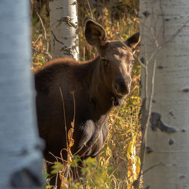 young moose (1 of 1).jpg
