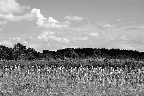 Cloonshanville Bog Reeds