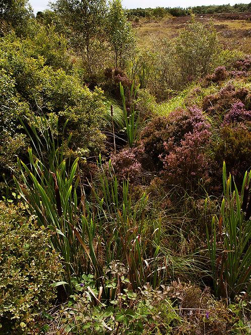 Cloonshanville Bog Flowers